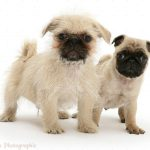 Pug Cross Shih Tzu Dogs
