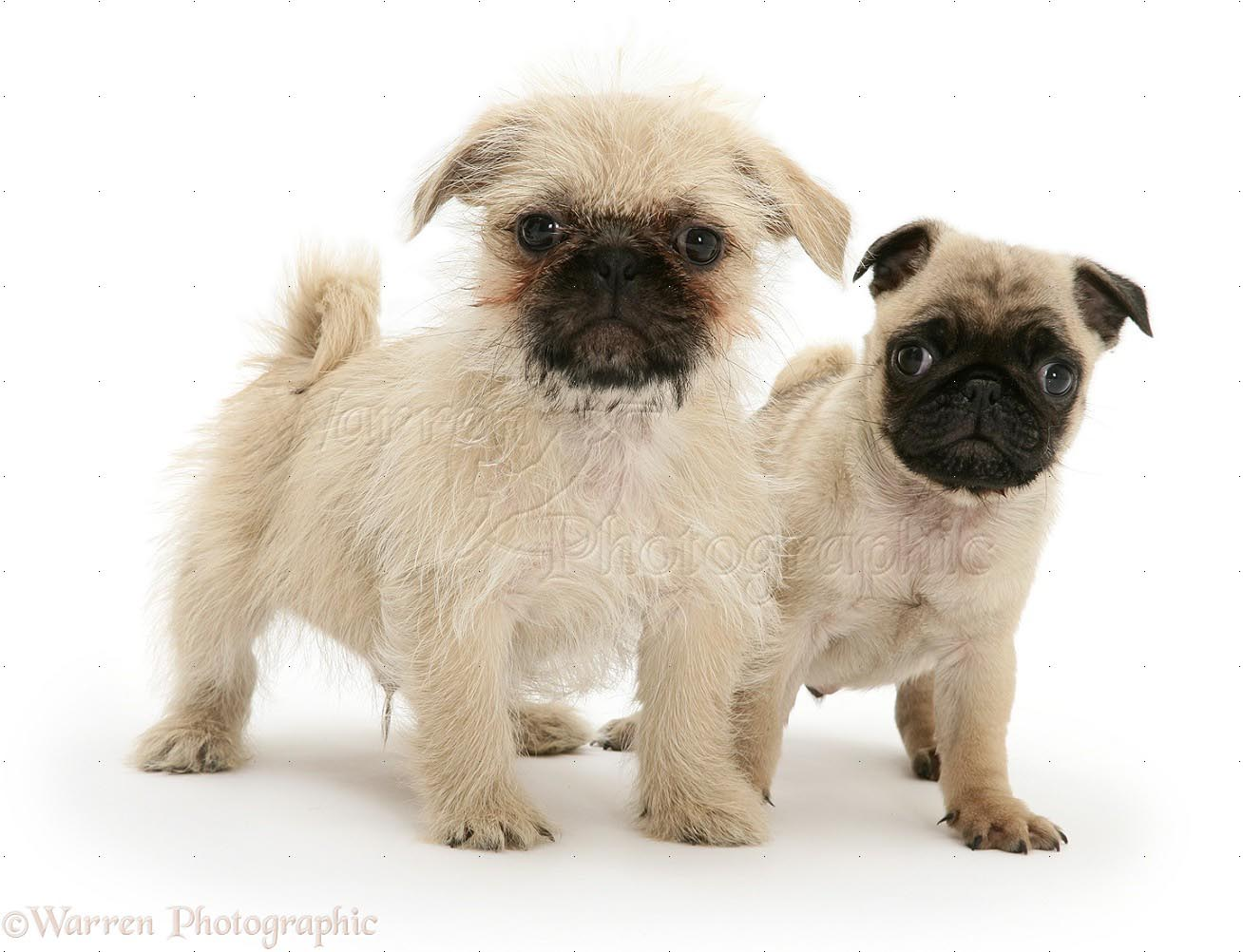 Pug Cross Shih Tzu Dogs Dog Breed Information
