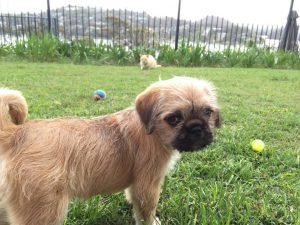 Pug Cross Shih Tzu Full Grown