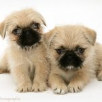 Pug Cross Shih Tzu Puppies