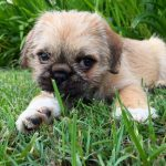 Pug Shih Tzu Mix Full Grown