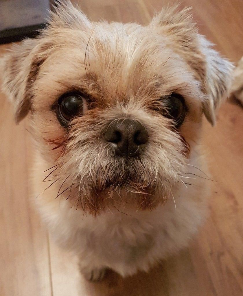 Pug X Shih Tzu Dog Breed Information