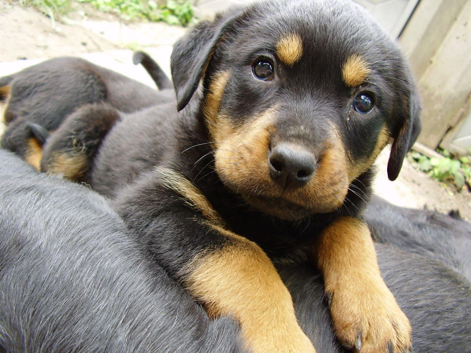 Rottweiler Beagle German Shepherd Mix
