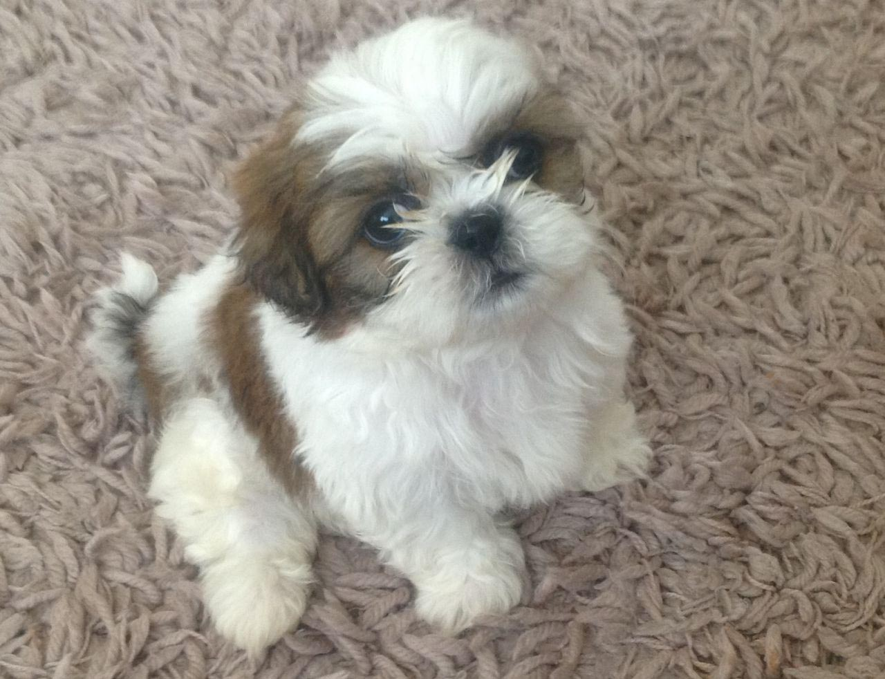 Shih Tzu 8 Weeks Old
