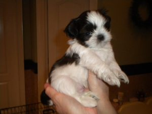 Shih Tzu at 6 Weeks