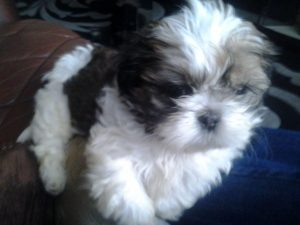 Shih Tzu at 8 Weeks