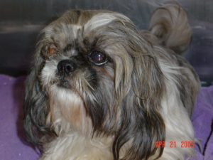 Shih Tzu Bulging Eye Problems