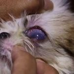Shih Tzu Eye Drops
