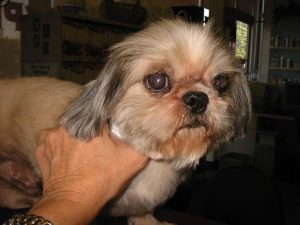 Shih Tzu Eye Infection