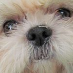 Shih Tzu Eye Problems Blindness