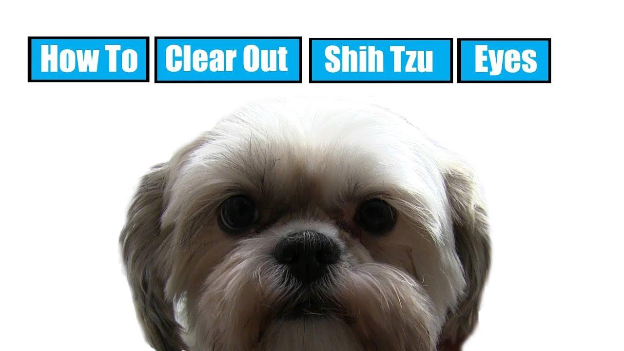 Shih Tzu Eye Problems Hair