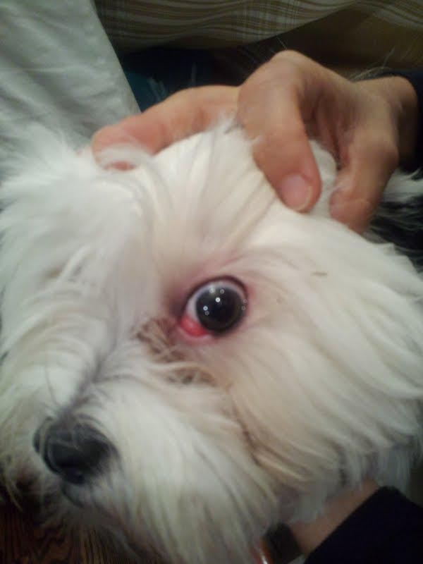 Shih Tzu Eye Problems Red