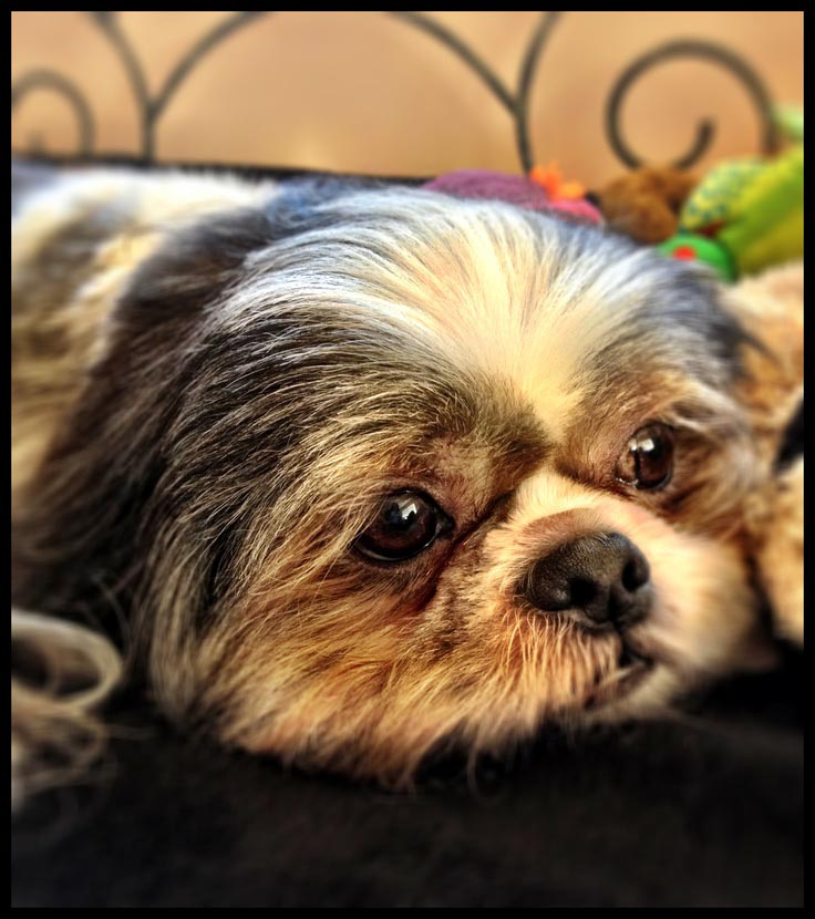Shih Tzu Eye Problems Symptoms