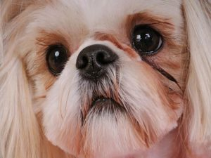 Shih Tzu Eyes Cloudy