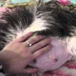 Shih Tzu Pregnancy Length