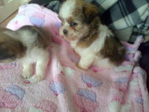 Shih Tzu Pregnancy Tips