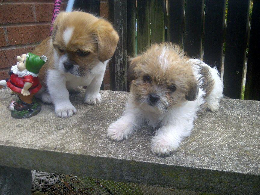 Shih Tzu Pug Mix Puppies