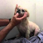 Shih Tzu Skin Problems How to Cure