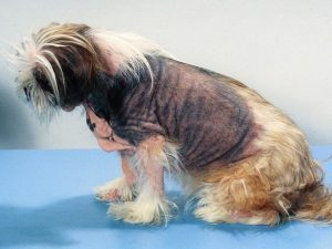 Shih Tzu Skin Problems Scabs