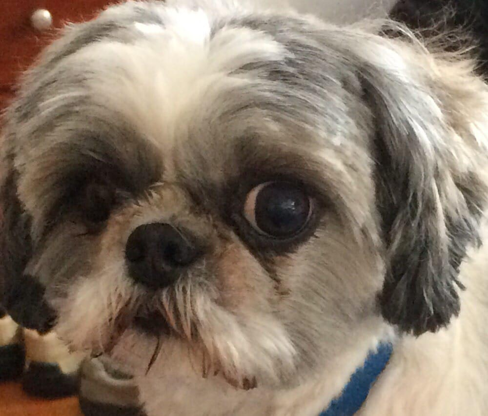 Shih Tzu Under Eye Problems
