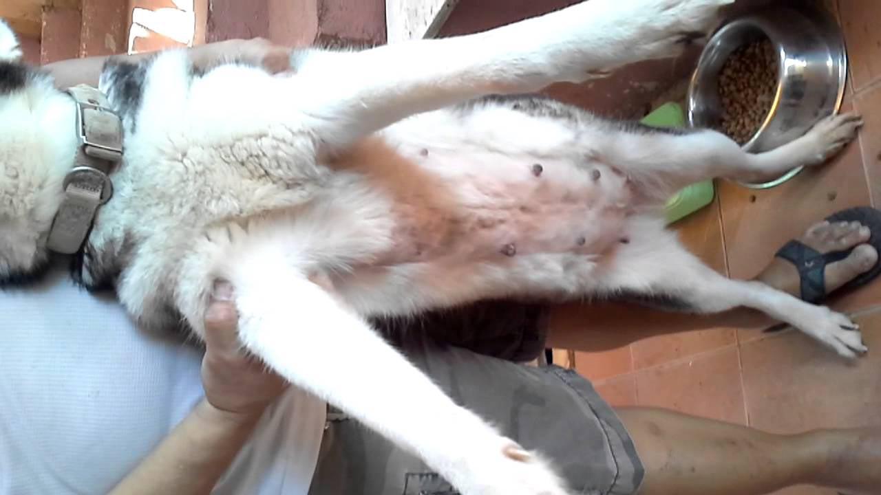 Siberian Husky Pregnancy Duration
