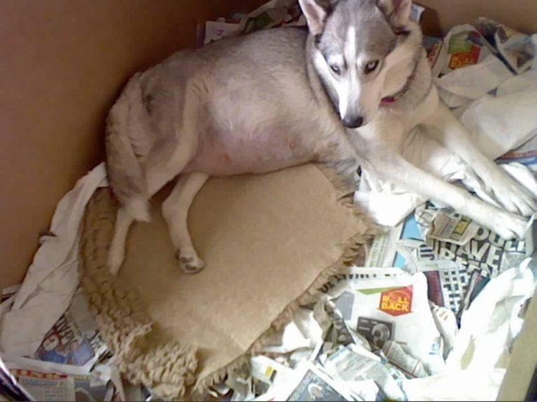 Siberian Husky Pregnancy Stages