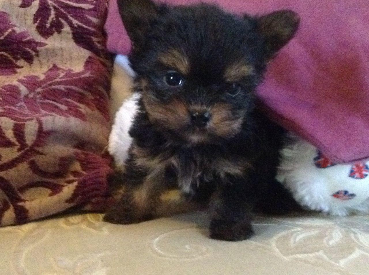 Teacup Chihuahua Cross Yorkshire Terrier