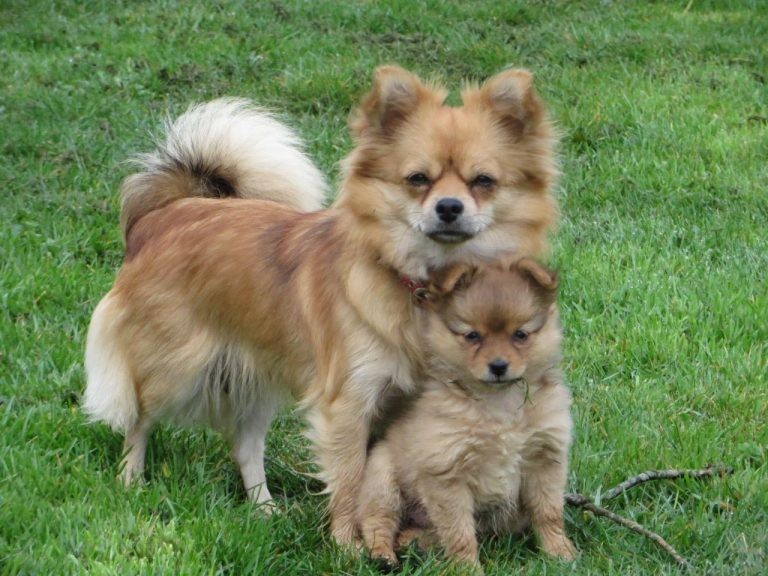 Teacup Chihuahua German Shepherd Mix