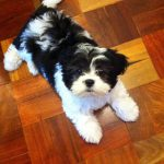 Training 8 Week Old Shih Tzu