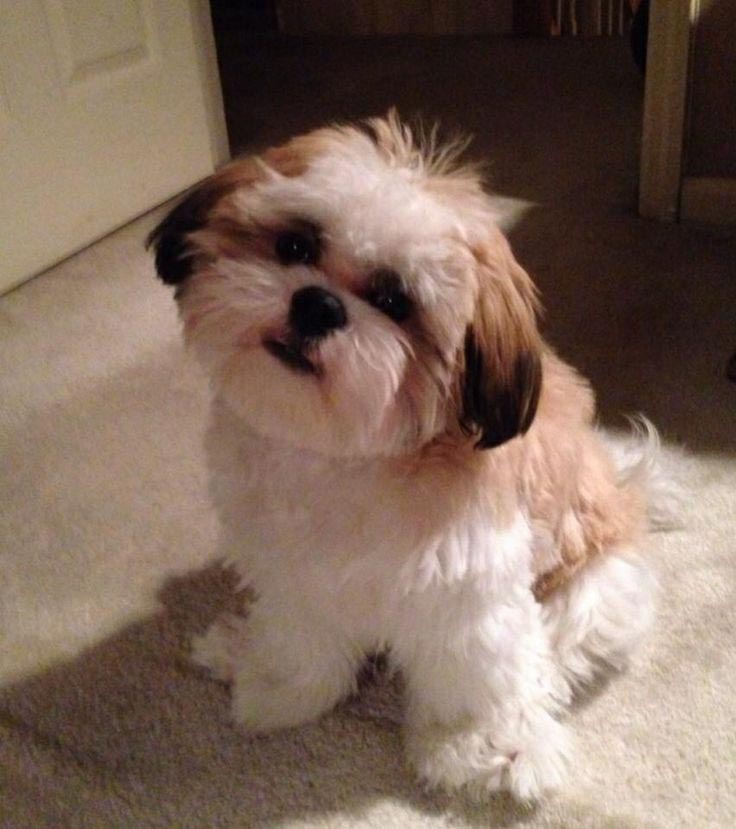 What Does a 4 Month Old Shih Tzu Look Like