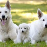 White German Shepherd Eye Problems