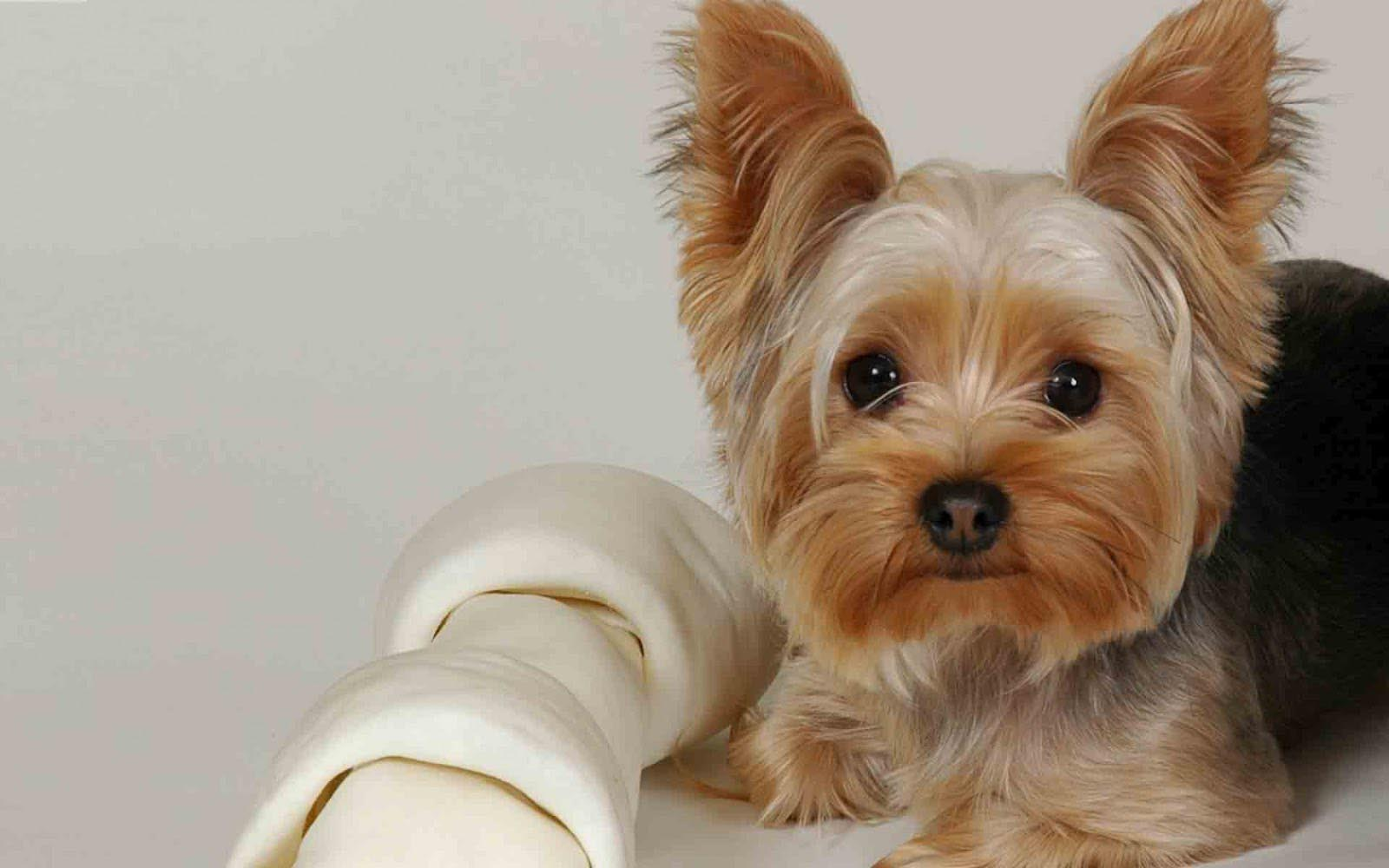 Yorkie Terrier Losing Teeth