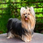 Yorkie Terrier Teeth Care
