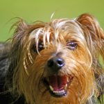 Yorkshire Terrier Baby Teeth