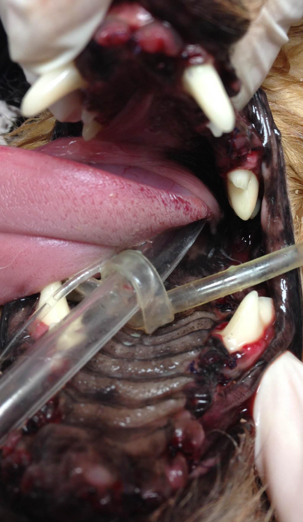 Yorkshire Terrier Bad Teeth