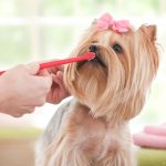 Yorkshire Terrier Brushing Teeth