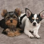 Yorkshire Terrier Cross Chihuahua Dog