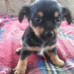 Yorkshire Terrier Cross Chihuahua Temperament