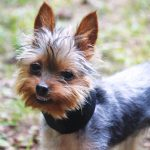 Yorkshire Terrier Double Set of Teeth
