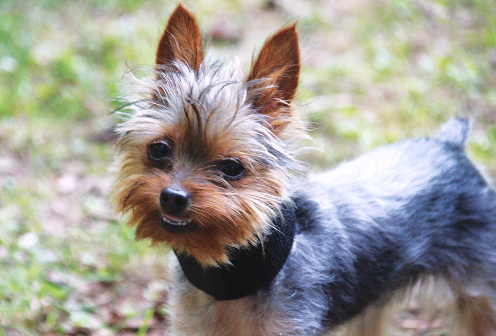 Yorkshire Terrier Double Teeth