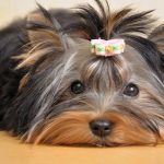 Yorkshire Terrier Loose Teeth