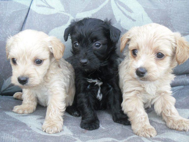 Yorkshire Terrier Miniature Poodle Mix