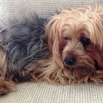 Yorkshire Terrier Puppy Teeth Fall Out