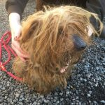 Yorkshire Terrier Rotting Teeth