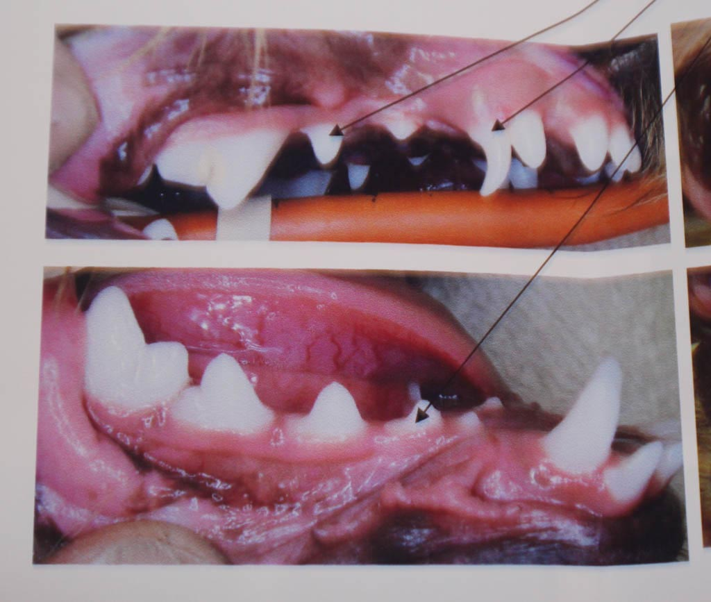 Yorkshire Terrier Teeth Loss