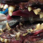 Yorkshire Terrier Teeth Problems