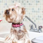 Yorkshire Terrier Teeth Removal