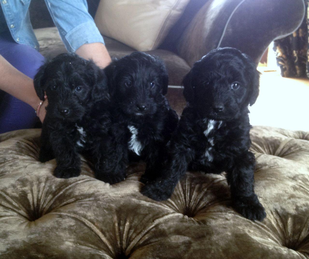 Yorkshire Terrier x Miniature Poodle