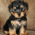 Yorkshire Terrier x Poodle Melbourne