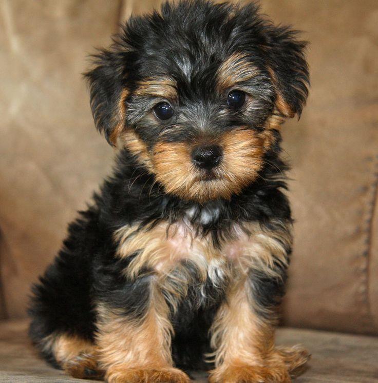 Http Dogtime Com Dog Breeds Yorkshire Terrier